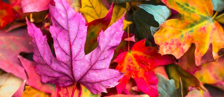 Fall Leaves - Blue Ridge Cabin Rentals - Helen Ga