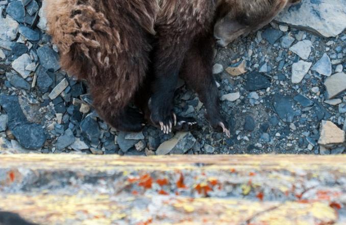 Brown Bear Sleeping in Montana